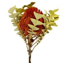 Banksia Baxterii Oranje 8st