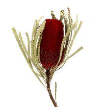 Banksia Hookerana rood 7st
