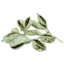 Brachyciton groen frosted 500g