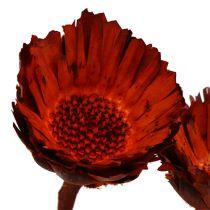 Compacta rozet oranje (37) 40st