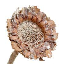 Coronata rozet 25st. Wit gewassen