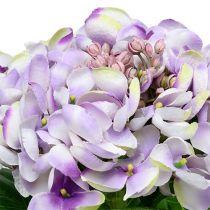 Hortensia paars-wit 60cm