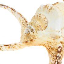 Lambis mariene buikpotige naturel 22cm