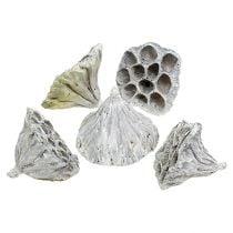 Lotos medium naturel mat 50st