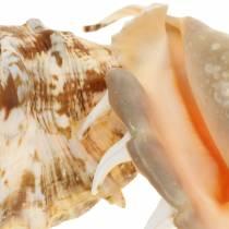 Lambis mariene buikpotige naturel 14cm 10st