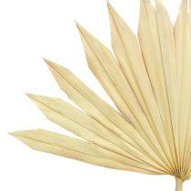 Palmspeer Zon gebleekt 30st