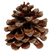 Pinus Pinea medium 10 / 14cm natuur 50st
