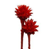 Plumosum 1 rood 25st