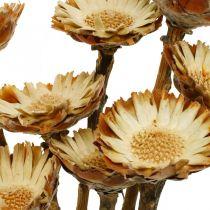 Protea Compacta Rozet Natuurlijke gedroogde bloemsuikerstruik 8st