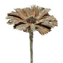 Protea rozet 8-9cm wit gewassen 25st