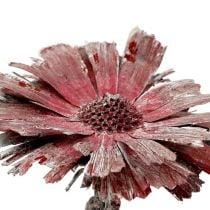 Protea rozet heide frosted Ø8-9cm 25st