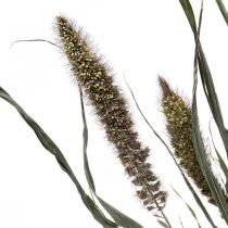 Gedroogde bloemen Setaria antraciet naturel gierst bos 100g