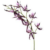 Spinorchideeën Brassia Purple 108cm 3st