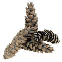 Strobus kegels 15cm - 20cm wit gewassen 50st
