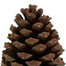 Kegels Pinus Maritima 10cm - 15cm naturel 3st