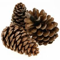 Pinus Pinea groot 14 / 18cm natuur 50st