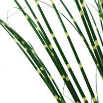 Zebragras in pot groen 60cm