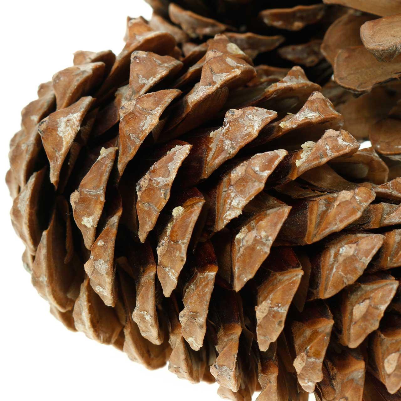 Pinus Pinea groot 14/18cm natuur 50st