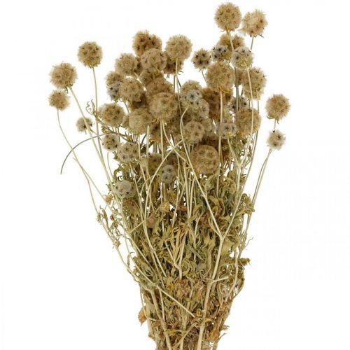 Scabiosa gedroogde natuur Scabiosa gedroogde bloemen H50cm 100g