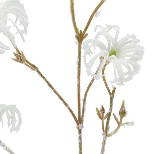 Clematis tak wit gevlokt 62cm 3st