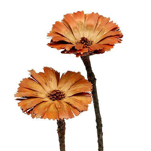 Repens rozet naturel 6-7cm 50st