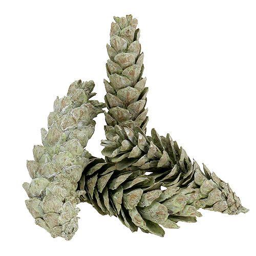 Strobus kegels als natuurlijke decoratie 15cm - 20cm groen 50p