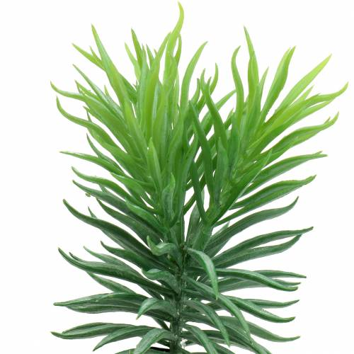 Vetplant Senecio ragwort groen 20cm