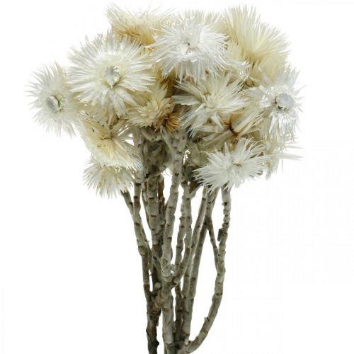 Droogbloemen Capbloemen natuurlijk wit, eeuwigdurende bloemen, droogbloemenboeket H33cm
