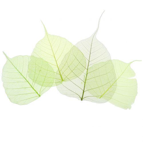Wilgenbladeren geskeletteerd groen assorti 200st